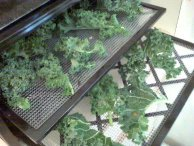 Dehydrating kale