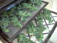 Dehydrating kale