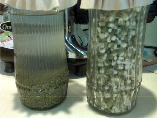 Soaking,Sprouting, & Germinating Mung Beans. The process of live fibro nutrition.